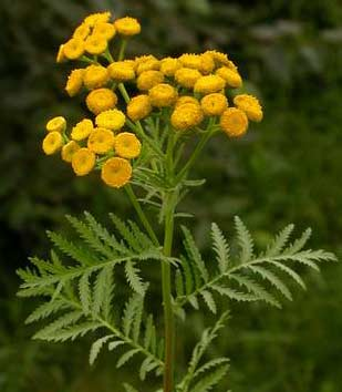common-tansy-ben-legler-1.jpg